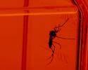 Silhueta de mosquito, fundo vermelho