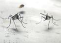 Dois mosquitos do tipo aedes