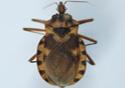 Imagem de inseto vetor de doença de Chagas