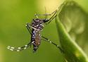 Foto de um mosquito