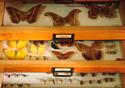 Foto de borboletas da coleção entomológica do IOC