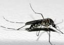 Imagem do mosquito da dengue