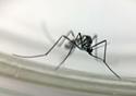 Mosquito causador da febre amarela