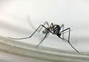 Mosquito do tipo haemagogus