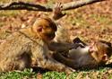 Dois macacos brincando