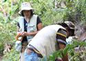 Pesquisadores do IOC captrando mosquitos em Casemiro e Abreu