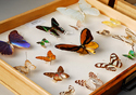 Coleção de borboletas