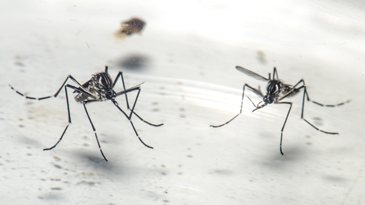 Dois mosquitos do tipo aedes