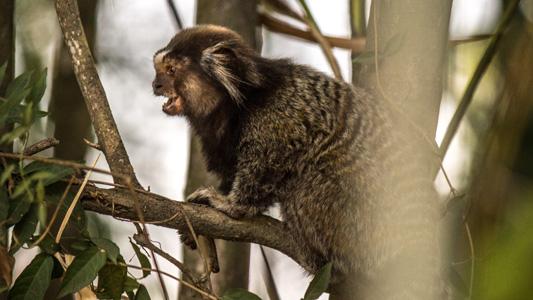 Foto de um mico em uma árvore