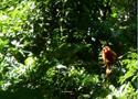 Mico Leão Dourado em uma árvore